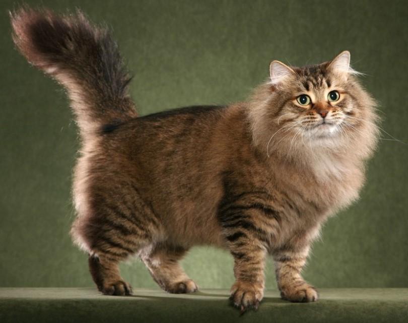 Бухарская сибирская кошка