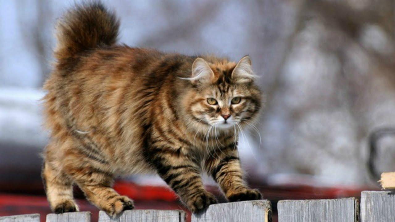 кот курильский бобтейл фото