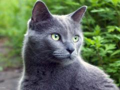 Русская голубая кошка: фото, описание породы и питомники