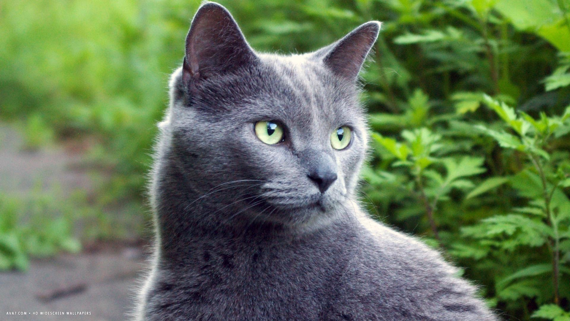 фотография русской голубой кошки