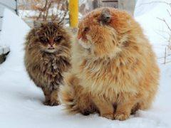 Аборигенные породы кошек: список и фотографии