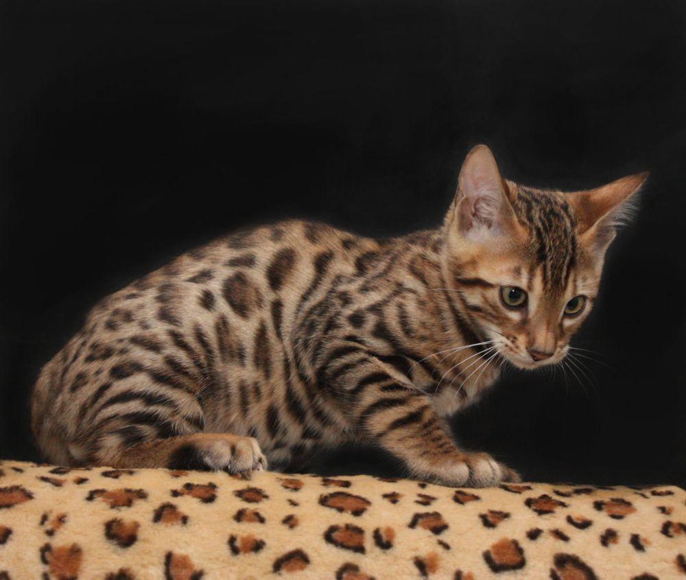 бенгальская кошка котенок