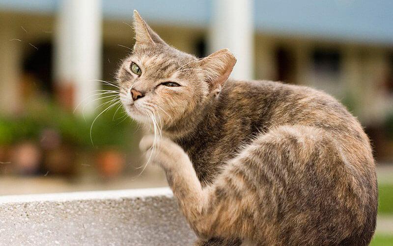 как вывести блох у кошек