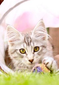 описание породы норвежская лесная кошка