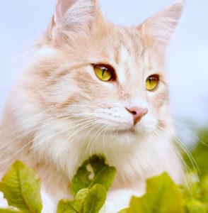как выбрать котенка норвежской лесной кошки
