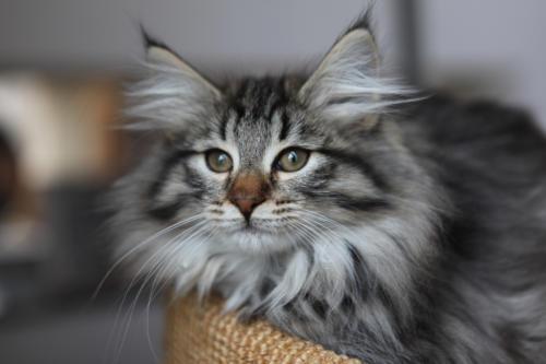 фото норвежская лесная кошка 7