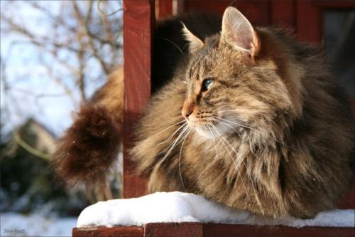 фото норвежская лесная кошка 6