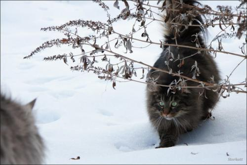 фото норвежская лесная кошка 1
