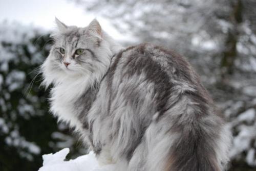 фото норвежская лесная кошка 4