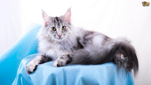 фото норвежская лесная кошка 8