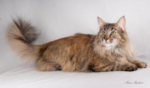 фото норвежская лесная кошка 9