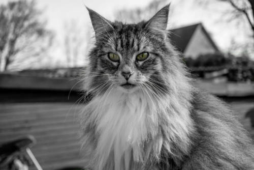 фото норвежская лесная кошка 3