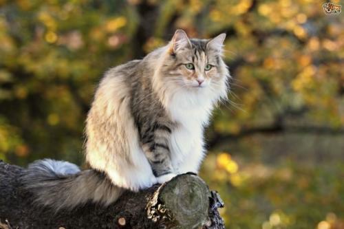 фото норвежская лесная кошка 5