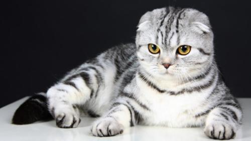 Scottish Fold-1