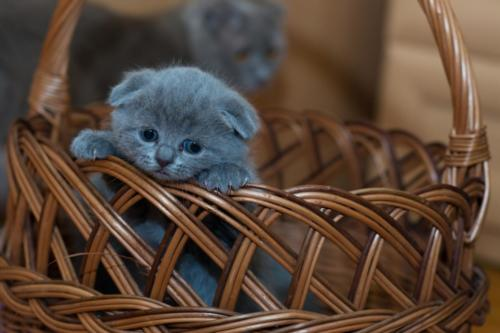 Scottish Fold-3