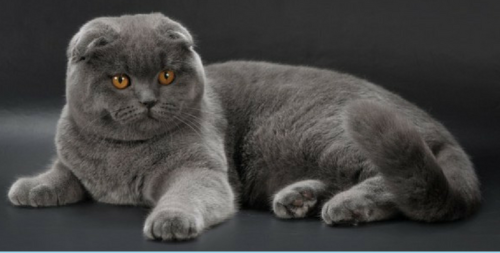 Scottish Fold-5