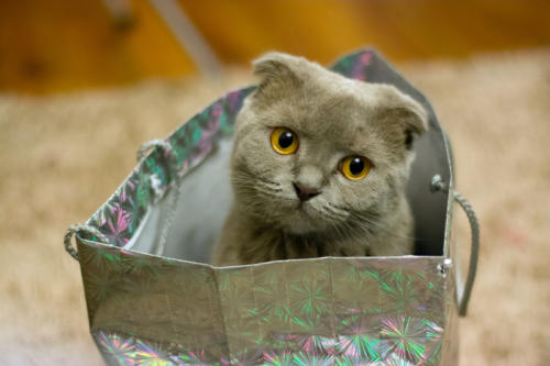 Scottish Fold-7