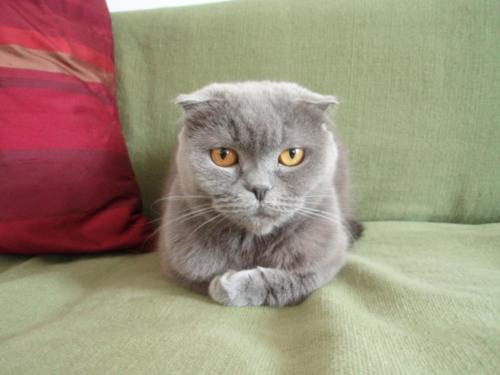 Scottish Fold-8