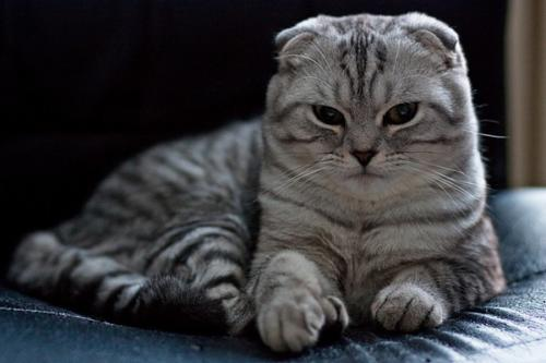 Scottish Fold-9